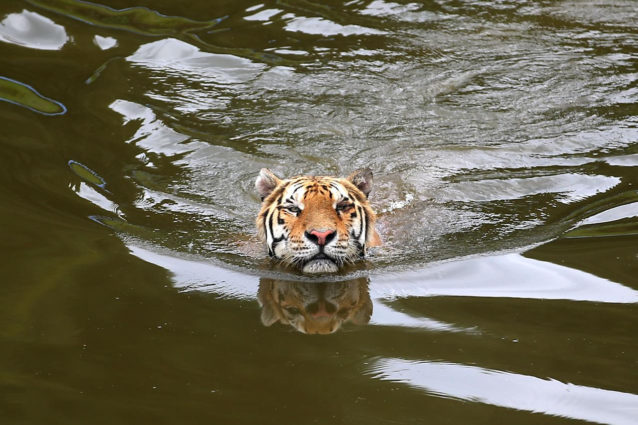 <p>A Siberian tiger swims in the water at Huangshan tiger park to cool off as the highest temperature reaches 34 Celsius degrees on August 30, 2018 in Huangshan, Anhui Province of China. (Photo by Shi Yalei/VCG via Getty Images) </p>