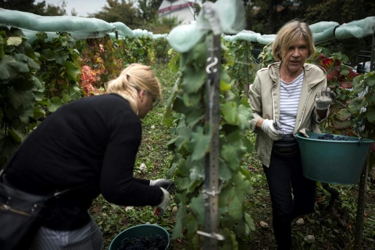 Around 20 people armed with pruning shears picked grapes in a park in the south of the French capital