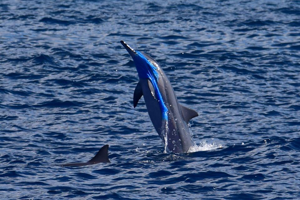 A spinner dolphin on the leeward side of Maui, Hawaii, leaps out of the water draped in plastic. [Jackson Kowalski/Pacific Whale Foundation]