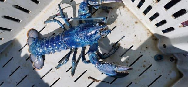 The blue lobster was returned to the water after a few photos were snapped. (Marcus Wysote - image credit)