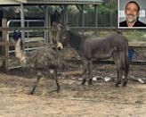 """<p>Better together! The <em>Supernatural</em> star gave Jack the donkey and Diane the emu <a href=""""https://people.com/pets/jeffery-dean-morgan-adopts-donkey-emu-friends/"""" rel=""""nofollow noopener"""" target=""""_blank"""" data-ylk=""""slk:a fairy-tale ending"""" class=""""link rapid-noclick-resp"""">a fairy-tale ending</a> by adopting the rescue animals in December 2018. The unlikely pair was seemingly abandoned in North Carolina, with their rehoming coordinated by the <a href=""""https://www.cwrescue.org/"""" rel=""""nofollow noopener"""" target=""""_blank"""" data-ylk=""""slk:Carolina Waterfowl Rescue"""" class=""""link rapid-noclick-resp"""">Carolina Waterfowl Rescue</a>.</p> <p>""""They have a very nice paddock with lots of green grass. Jeffrey is building them a new heated enclosure, even though the one they have now is very nice. They will be spoiled,"""" Jennifer Gordon, executive director of nonprofit rescue, told <a href=""""https://people.com/pets/jeffery-dean-morgan-adopts-donkey-emu-friends/"""" rel=""""nofollow noopener"""" target=""""_blank"""" data-ylk=""""slk:PEOPLE"""" class=""""link rapid-noclick-resp"""">PEOPLE</a> of the animals' new home on Morgan's New York farm.</p>"""