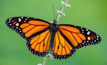 <p><strong>Monarch Butterfly </strong></p><p>Only honey bees have more state insect titles than these bright flying creatures. </p>