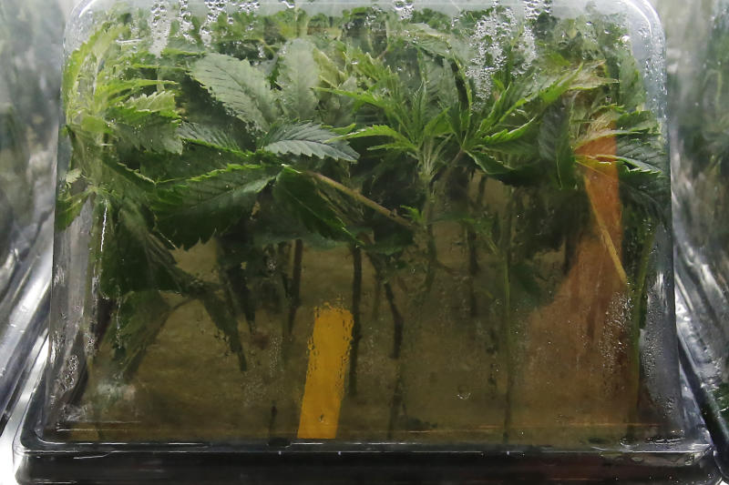 Recently planted marijuana cuttings are pictured in a humidity dome in a nursery at Baker's Medical, Wednesday, Feb. 26, 2020, in Oklahoma City.  When voters in conservative Oklahoma approved medical marijuana in 2018, many thought the rollout would be ploddingly slow and burdened with bureaucracy. Instead, business is booming so much cannabis industry workers and entrepreneurs are moving to Oklahoma from states with more well-established pot cultures, like California, Colorado and Oregon.   (AP Photo/Sue Ogrocki)