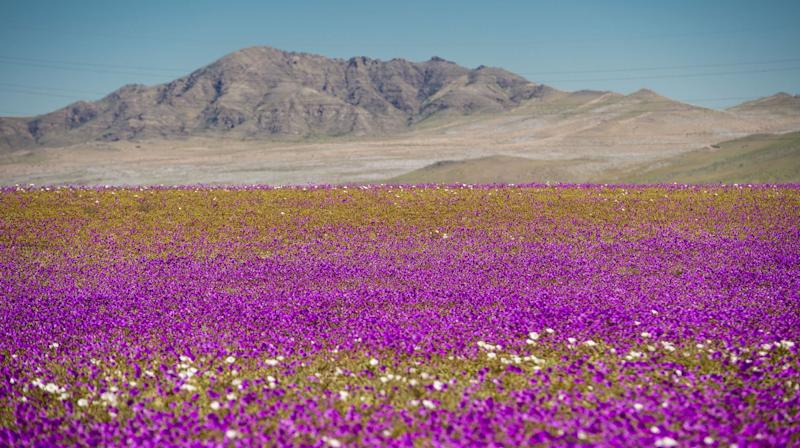 The World's Driest Desert Blooms With Hundreds Of Flowers After Rare Rain