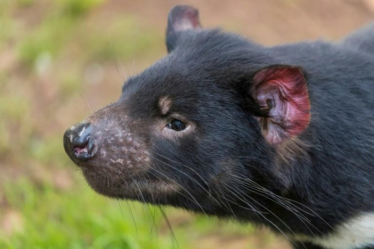 Hopes that a major rewilding effort could succeed have been boosted by the birth of wild Tasmanian devils on the Australian mainland