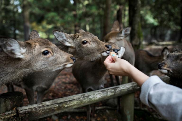 Tourists are forbidden from feeding the deer any food other than the crackers