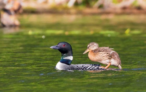 PHOTO: The duckling has adopted some loon traits like standing on its adoptive parent's back in the water. (Courtesy Linda Grenzer)