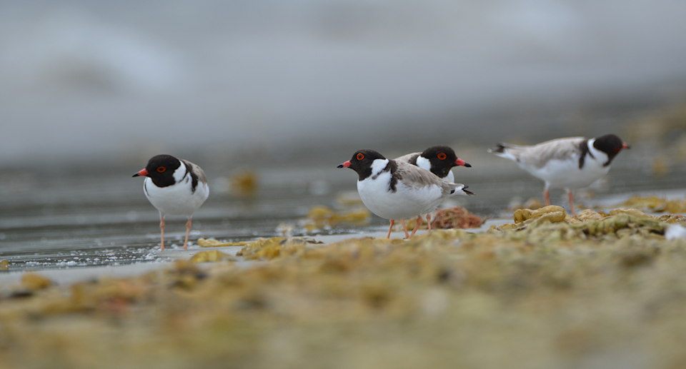 Hooded plovers on the beach.