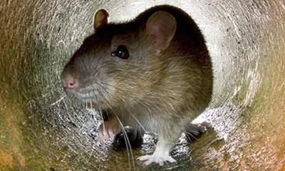 Mutant Rats: Catchers Call For Stronger Poison