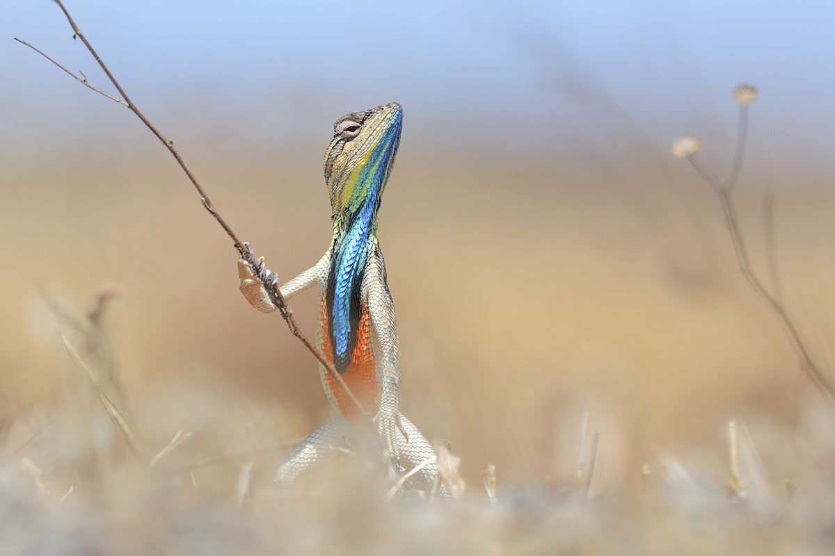 <p>This is a male fan-throated lizard, a species found on open ground and in sparse forests across the Indian subcontinent. The image took the silver medal in the 26 and over category. (Image: RPS/Anup Deohar)</p>