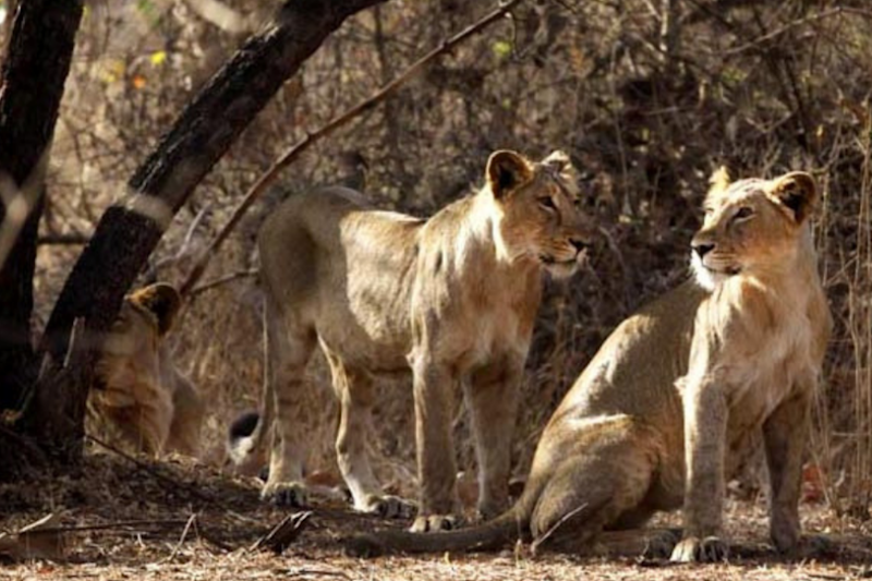 Gujarat's Gir Lions to Sport Radio Collars Like Their African Counterparts
