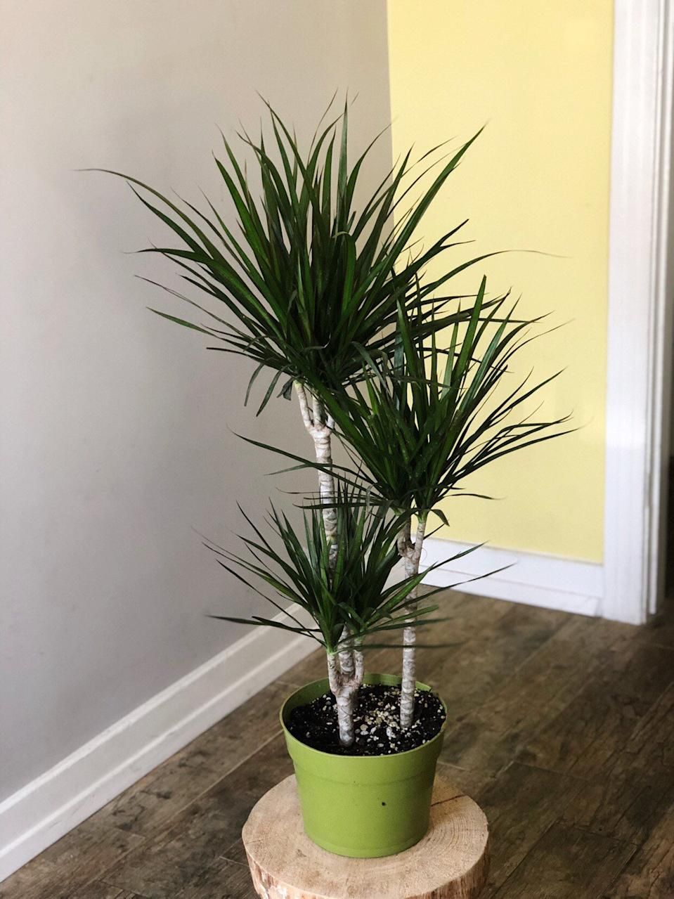 "32"" Dracaena Marginata in Pot (Credit: Etsy)"