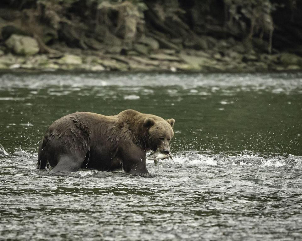 <p>Located off the south coast of Alaska, Kodiak Island is the second largest island in the United States and 80th in the world. Mountainous with dense forests, Kodiak is the native home of both the Kodiak bear and the king crab.</p>