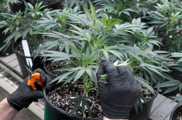 PHOTO: In this Tuesday, Jan. 14, 2020, photo, cannabis is grown at Revolution Global's cannabis cultivation center in Delavan, Ill. (Charles Rex Arbogast/AP Photo)