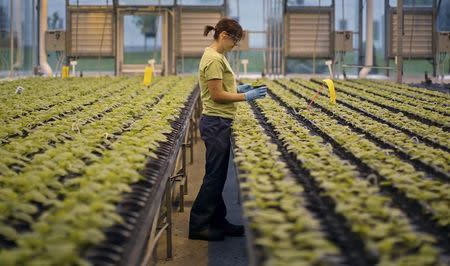A worker inspects the Nicotiana benthamiana plants at Medicago greenhouse in Quebec City