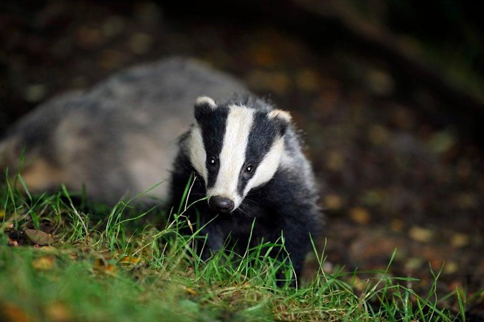 The animal is protected under the Protection of Badgers Act 1992 (PA Archive)