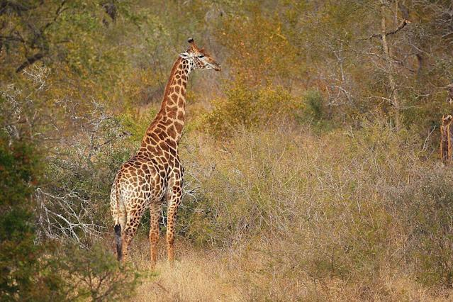 A giraffe walks through scrub in Edeni Game Reserve, near Kruger National Park in South Africa.