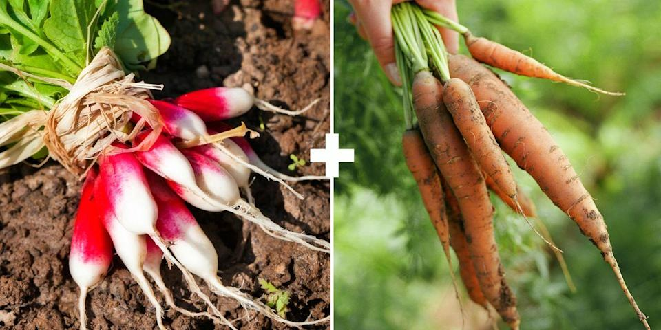 <p>These two plants take up nutrients from different places in the soil so they aren't competing for resources. Radishes mature quickly and don't grow as deeply as carrots, which have a long tap root and take more days to mature, says Maloney.</p>