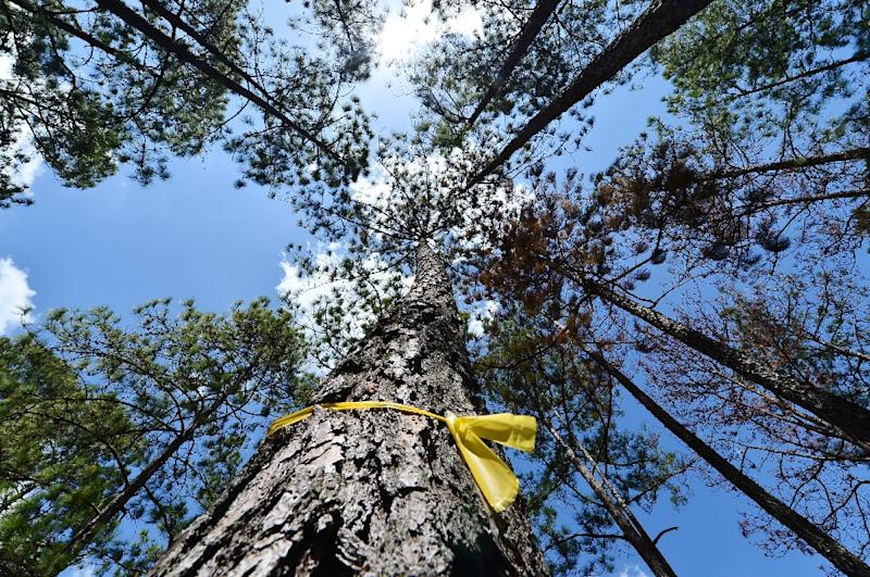 A tree infested with the deadly southern pine beetle is marked with a yellow ribbon (AFP Photo/ORLANDO SIERRA)