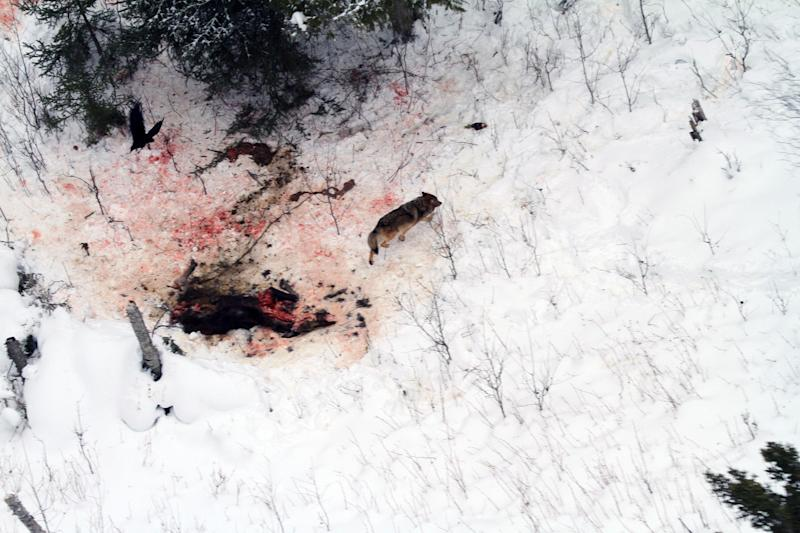 FILE - In this February 2012 file ariel photo provided by George Desort, a gray wolf walks away from a kill site on Isle Royale National Park in Northern Michigan. The national park's wolf population has fallen to eight, lowest since the 1950s, and scientists are debating whether to do anything about it. (AP Photo/George Desort, File)