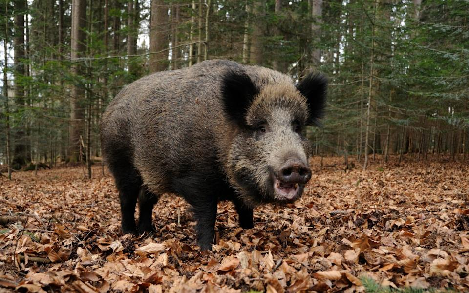 A farmers' association estimates there are now two million wild boar in Italy - iStockphoto
