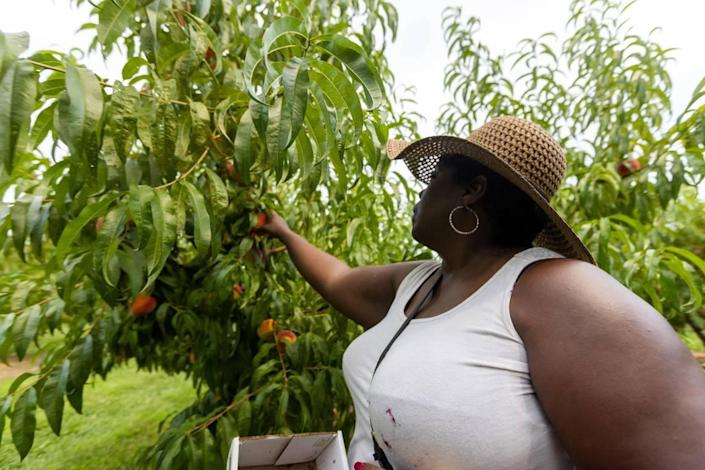 Versailles resident Stacy Manon picked peaches July 29 at Eckert's Orchard in Versailles. A cool spring that slowed the ripening process combined with a COVID pandemic pause helped contribute to the bountiful crop at area you-pick farms.