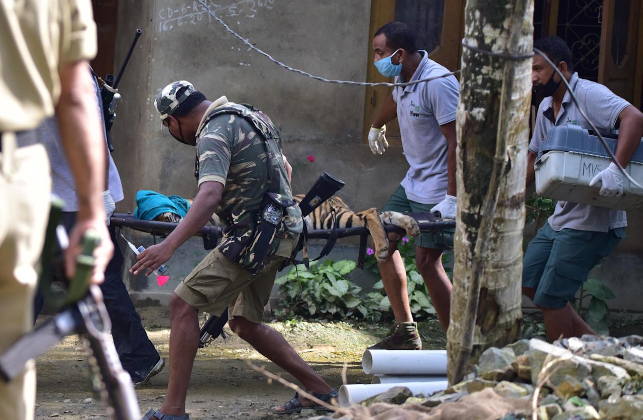 A tigress which strayed into a house in Baghmari area at Bagori range being rescued in Nagaon District of Assam. (Photo credit should read Anuwar Ali Hazarika/Barcroft Media via Getty Images)