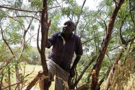 Locust scout Francis Loyete climbs a tree as he searches for desert locusts in the village of Nadooto near the town of Lodwar, Turkana county