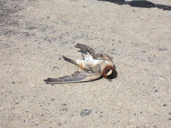 Can Birds Evolve to Avoid Being Road Kill?
