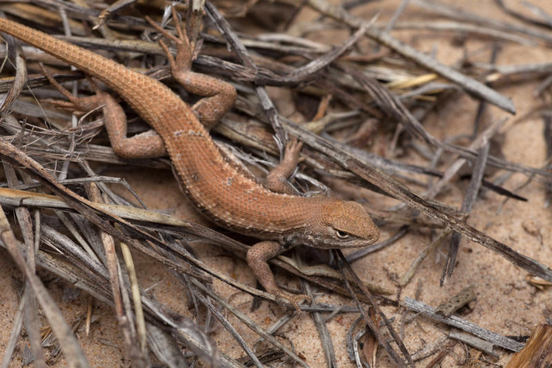 FILE - In this May 1, 2015 file photo, a dunes sagebrush lizard is shown. The dunes sagebrush lizard is found among the dunes straddling New Mexico and West Texas in one of the nation's richest oil basins and  is at the center of a new lawsuit. Environmentalists want the federal government to add the lizard to the endangered species list. The fight stretches back to the Bush and Obama administrations and could affect part of the multibillion-dollar energy industry in the Permian Basin. (U.S. Fish and Wildlife Service via AP, File)