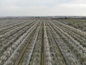 Trees flower in an almond orchard in San Joaquin County, Calif., on Friday, Feb. 28, 2020. Each winter into spring, commercial beekeepers travel extensively with their hives to pollinate many of the nation's crops, including almonds. (AP Photo/Terry Chea)