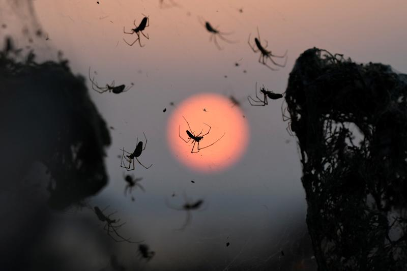 A close-up of spiders as the sun rises behind them. (Alexandros Avramidis / Reuters)