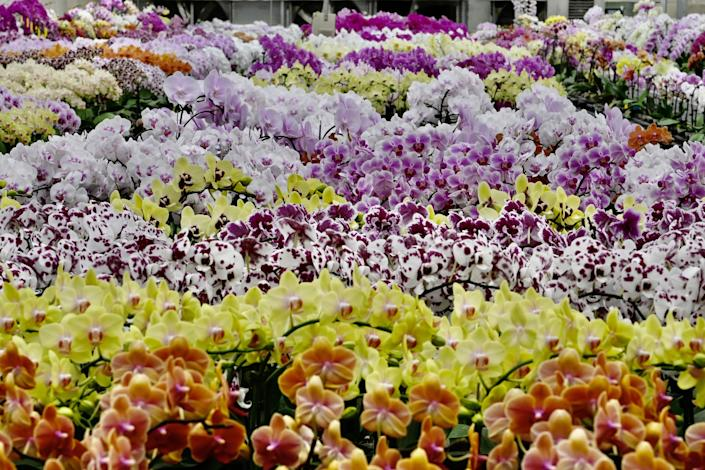 A general view shows orchid flowers at the Char Ming Agriculture showroom in Tainan, southern Taiwan, on March 6, 2020.