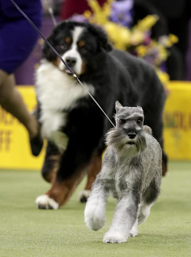 <p>A standard schnauzer takes another lap around the ring during the working group competition at the 141st Westminster Kennel Club Dog Show, Tuesday, Feb. 14, 2017, in New York. (AP Photo/Julie Jacobson) </p>