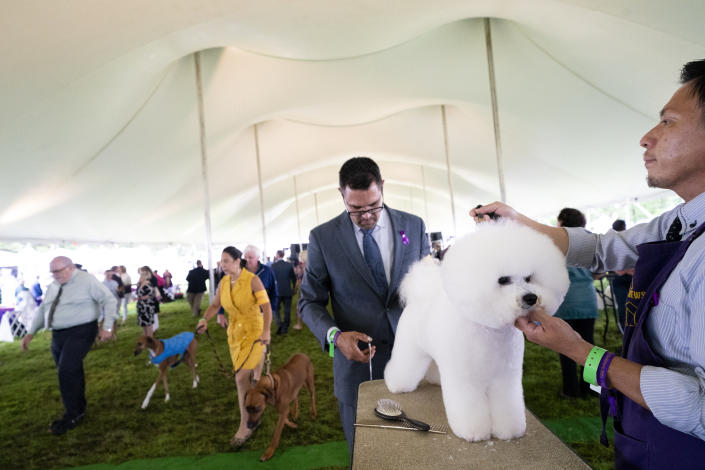 A bichon frise is groomed in the staging area in the tented judging area at the 145th Annual Westminster Kennel Club Dog Show, Saturday, June 12, 2021, in Tarrytown, N.Y. (AP Photo/John Minchillo)