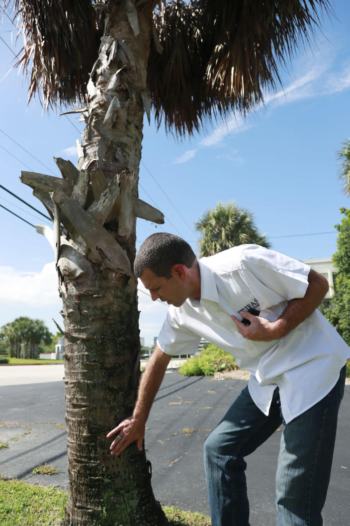"""In this Wednesday, July 31, 2019, photo, Brian Bahder, assistant professor of entomology at the University of Florida, points to a cabbage palm tree that died from a lethal bronzing disease in Davie, Fla. Florida's iconic palm trees are under attack from a fatal disease that turns them to dried crisps within months with no chance for recovery once ill. Lethal bronzing is caused by a bacteria spread by a rice-sized insect. It has gone from a small infestation on Florida's Gulf Coast to a statewide problem in a decade. """"Getting this disease under control is essential because it has the potential to drastically modify our landscape,"""" said Bahder. (AP Photo/Wilfredo Lee)"""