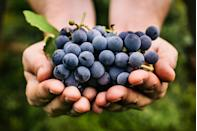 """<p>Depending on where you live, grape season can stretch all the way from July to December, but in most regions, this favorite fruit peaks in September. Much like figs, fresh fall grapes go great on charcuterie boards and are fabulous to munch on as-is; they also pair well with cheese, as this <a href=""""https://www.thedailymeal.com/recipes/pan-fried-feta-lemon-honey-dressing-recipe?referrer=yahoo&category=beauty_food&include_utm=1&utm_medium=referral&utm_source=yahoo&utm_campaign=feed"""" rel=""""nofollow noopener"""" target=""""_blank"""" data-ylk=""""slk:pan-fried feta"""" class=""""link rapid-noclick-resp"""">pan-fried feta</a> and this <a href=""""https://www.thedailymeal.com/best-recipes/grape-feta-onion-galette?referrer=yahoo&category=beauty_food&include_utm=1&utm_medium=referral&utm_source=yahoo&utm_campaign=feed"""" rel=""""nofollow noopener"""" target=""""_blank"""" data-ylk=""""slk:rustic grape galette"""" class=""""link rapid-noclick-resp"""">rustic grape galette</a> prove.</p>"""