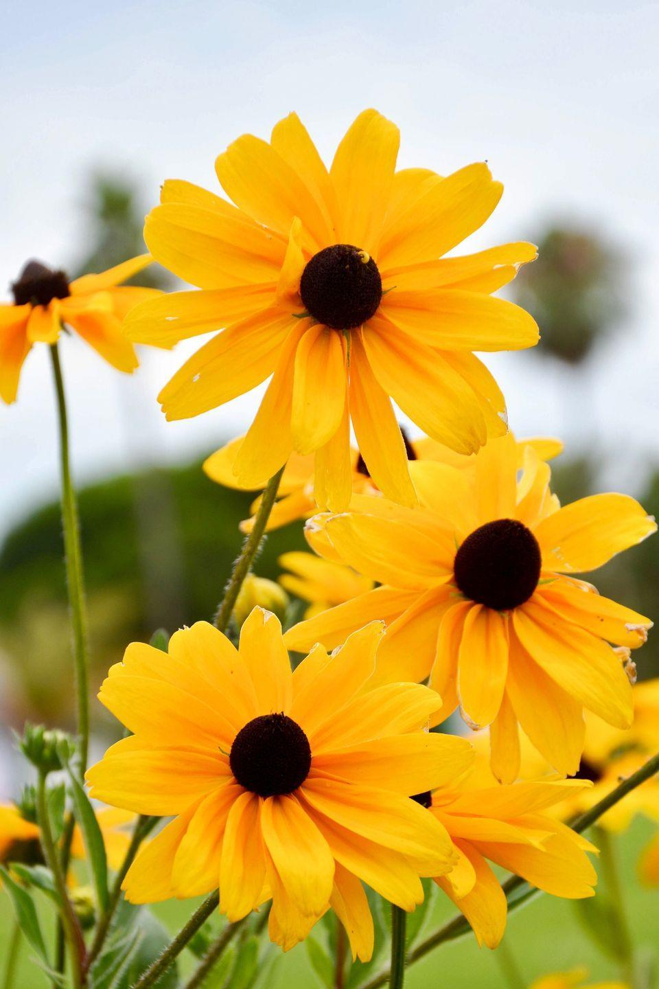 """<p>Related to sunflowers, this yellow flowering plant in a native wildflower. Sun-loving and drought tolerant, these flowers bloom starting in the summer and into the fall months.<br></p><p><a class=""""link rapid-noclick-resp"""" href=""""https://www.amazon.com/Black-Eyed-Rudbeckia-Pollinated-Seed-Needs/dp/B01MPZV0H4/ref=sr_1_2?tag=syn-yahoo-20&ascsubtag=%5Bartid%7C10050.g.32157369%5Bsrc%7Cyahoo-us"""" rel=""""nofollow noopener"""" target=""""_blank"""" data-ylk=""""slk:SHOP NOW"""">SHOP NOW</a></p>"""