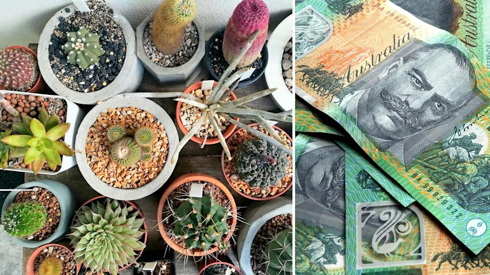 Aerial view of colourful indoor cactuses, Australian $100 notes.