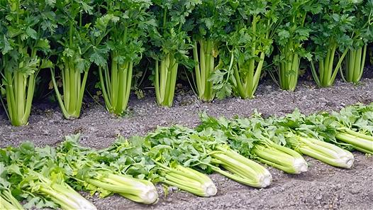"<div class=""caption-credit""> Photo by: Cora Niele</div><div class=""caption-title""></div><b>Celery</b> <br> Next time you need a crunchy afternoon snack, reach for the celery, not the carrot sticks. Rich in minerals, vitamin C, and phenolic acids, it wards off cancer, cold and flu, and allergies. Compounds called phthalides make it a good cholesterol-lowering food remedy, too. The more the better, most research suggests. Duke says to eat at least four stalks a day. Because its flavor is relatively mild, you can dress it up with peanut butter or use it in place of chips or crackers for your favorite dip. Celery is also one of the rare veggies that don't lose nutritional value when cooked, so add lots of it to stocks, soups, and casseroles. Use the leaves, as well, because they're rich in calcium and more vitamin C. <p>   <b>The  <a rel=""nofollow"" href=""http://wp.me/p1rIBL-1Sb"">Top Slow Carb Diet Foods</a></b> </p>"