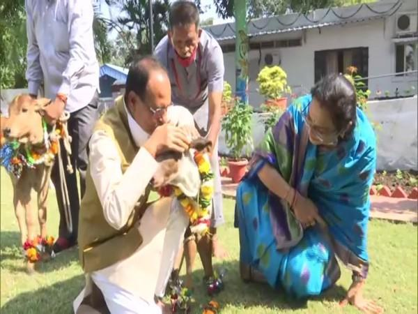 Madhya Pradesh Chief Minister Shivraj Singh Chauhan and his wife petting a young calf on teh occassion of Govardhan Puja. (Photo/ANI)