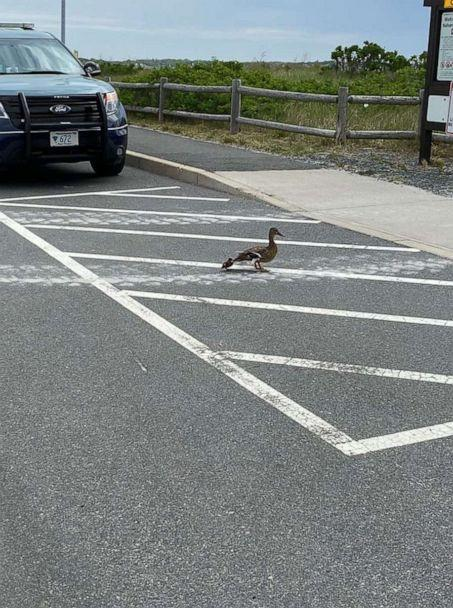 PHOTO: Jim Maloney, a Massachusetts state soldier, accidentally spotted eight small ducklings that were at the bottom of a storm drain after somehow separating from the family and falling through a grate in the Nahant Beach parking lot northeast of Boston. (Massachusetts State Police)