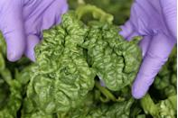 <p>Spinach is another cool weather vegetable that can be planted in March and will produce until the summer heat waves begin arriving. For those who live in USDA Hardiness Zones 5-10, you can plant in March—or whenever the soil is able to be worked.</p>