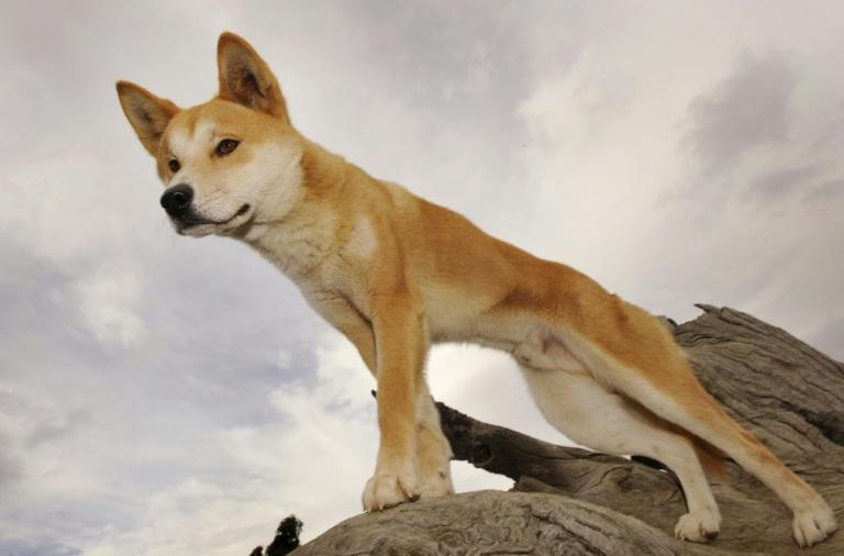 Scientists in Australia say the dingo is not a dog, but rather a unique species