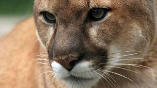 A witness told police the cougar jumped a six-foot-high fence into a residential yard in the 100 block of Bluefox Boulevard. (CBC - image credit)