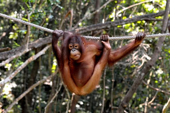 Orangutan rescued by charity after being tied up and taunted by villagers