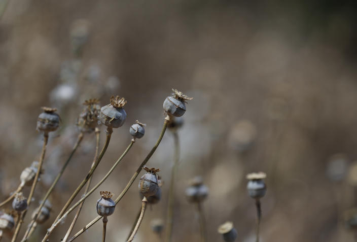 Poppy flowers are dry, months after the field was sprayed with herbicide by an army helicopter in the mountains surrounding Badiraguato, Sinaloa state, Mexico, Wednesday, April 7, 2021. The crop, which was to provide the revenue from which this farmer planned to live for the year, was destroyed in February. (AP Photo/Eduardo Verdugo)