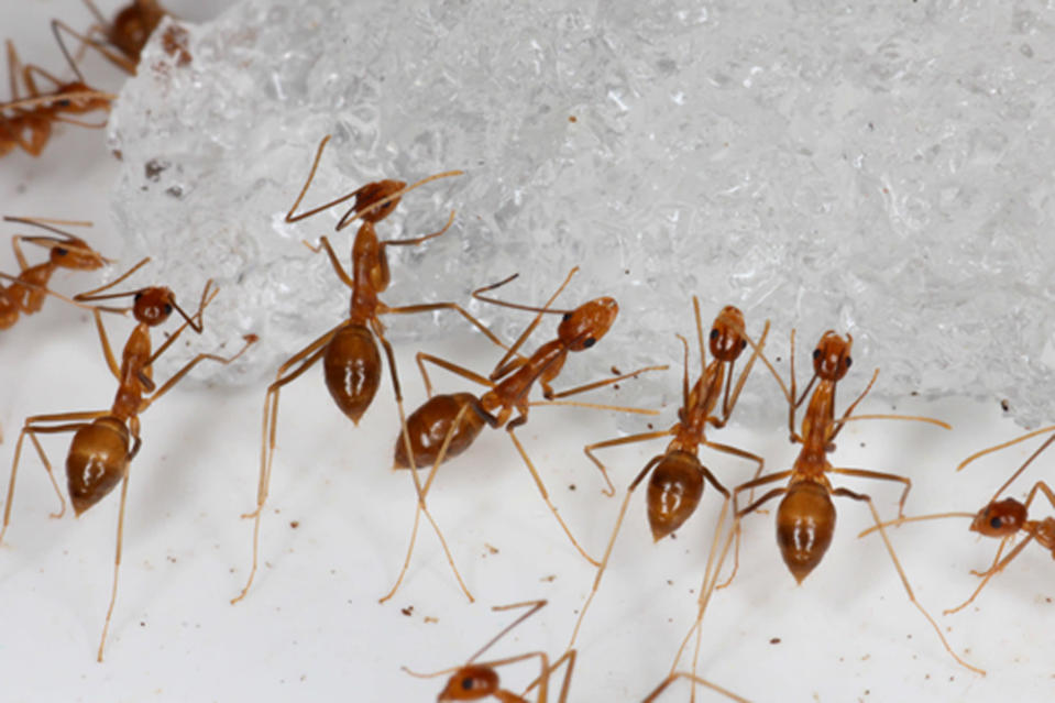 In this photo provided by the U.S. Fish and Wildlife Service, yellow crazy ants are seen in a bait testing efficacy trial at the Johnston Atoll National Wildlife Refuge in December, 2015. An invasive species known as the yellow crazy ant has been eradicated from the remote U.S. atoll in the Pacific. The U.S. Fish and Wildlife Service announced Wednesday, June 23, 2021, that the ants have been successfully removed from the refuge. (Robert Peck/U.S. Fish and Wildlife Service via AP)