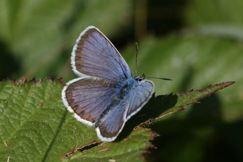 """<span class=""""caption"""">The silver-studded blue butterfly is among that species that may be flexible enough to thrive.</span> <span class=""""attribution""""><span class=""""source"""">Callum Macgregor</span>, <span class=""""license"""">Author provided</span></span>"""
