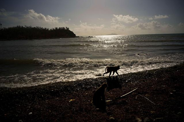 <p>A monkey walks along the shore of Cayo Santiago, known as Monkey Island, in Puerto Rico on Oct. 4, 2017. About 100 macaque monkeys here have had their entire genetic makeup sequenced, and hundreds more have had at least some of their DNA analyzed. (Photo: Ramon Espinosa/AP) </p>
